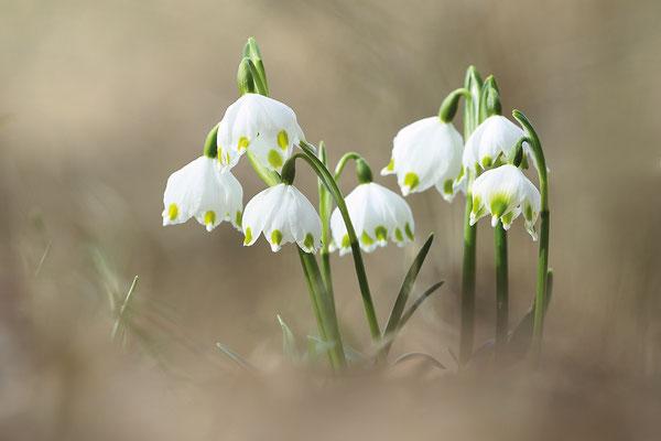 Frühlings-Knotenblume (Leucojum vernum) oder auch Märzenbecher genannt - Bild 008 - Foto: Regine Schulz