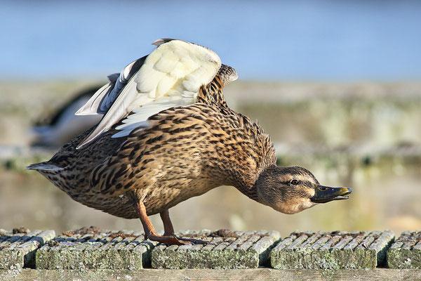 Stockente (Anas platyrhynchos) - Weibchen Bild 008 Foto: Regine Schulz