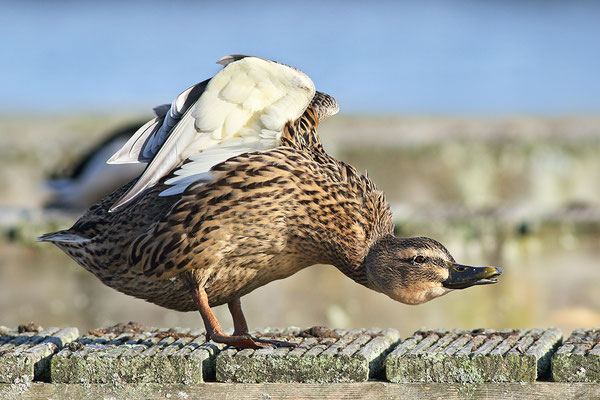 Stockente (Anas platyrhynchos) - Weibchen Bild 008 Foto: Regine Schadach