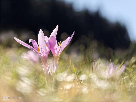 Herbst-Zeitlose (Colchicum autumnale) - Bild 005 -Foto: Regine Schadach - Olympus OM-D E-M1 Mark II - M.ZUIKO DIGITAL ED 60mm 1:2.8 Macro