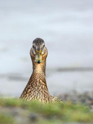 Stockente (Anas platyrhynchos) - Weibchen Bild 006 Foto: Regine Schadach