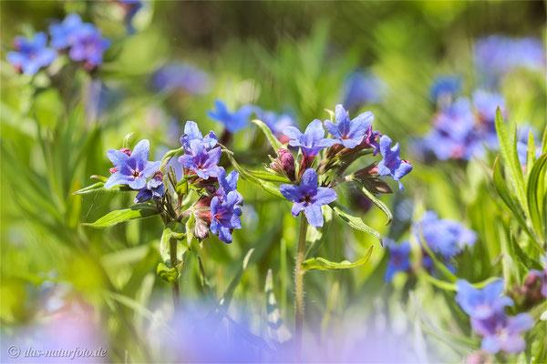 Blaurote Steinsame (Buglossoides purpurocaerulea) - Bild: 002 - Foto: Regine Schadach - Olympus OM-D E-M5 Mark II - M.ZUIKO DIGITAL ED 60mm 1:2.8 Macro