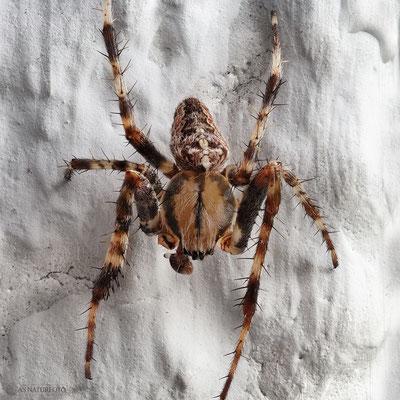 Gartenkreuzspinne (Araneus diadematus) Männchen Bild 002 - Foto: Regine Schadach - Olympus OM-D E-M1 Mark I I I - M.ZUIKO DIGITAL ED 60mm 1:2.8 Macro