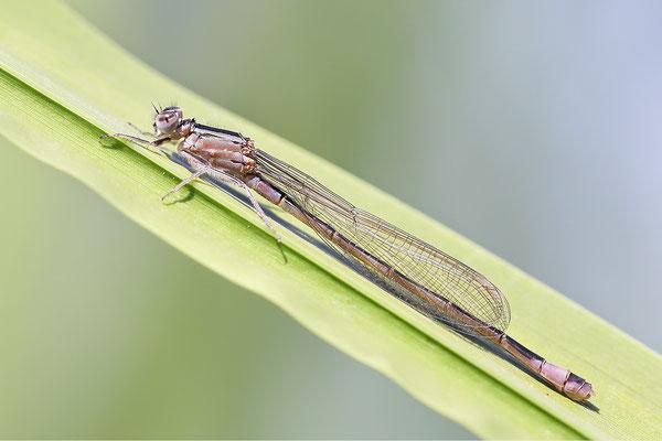 Große Pechlibelle (Ischnura elegans) - Weibchen immatur  Bild 014 Foto: Regine Schadach