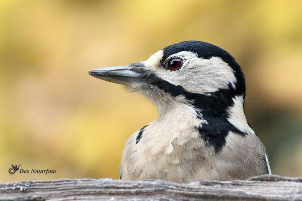 Buntspecht (Dendrocopos major) Weibchen Bild 003 Foto: Regine Schadach