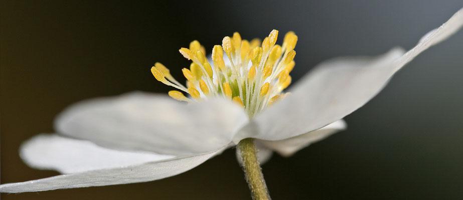 Busch-Windröschen (Anemone nemorosa) Bild 003 Foto: Regine Schadach -Canon EOS 40D Sigma 150mm f/2.8 Macro