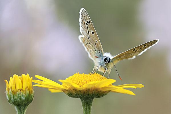 Hauhechel-Bläuling (Polyommatus icarus) - Bild 002 - Foto: Regine Schulz