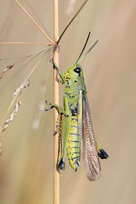 Sumpfschrecke (Stethophyma grossum) Männchen Bild 003 Foto: Regine Schadach