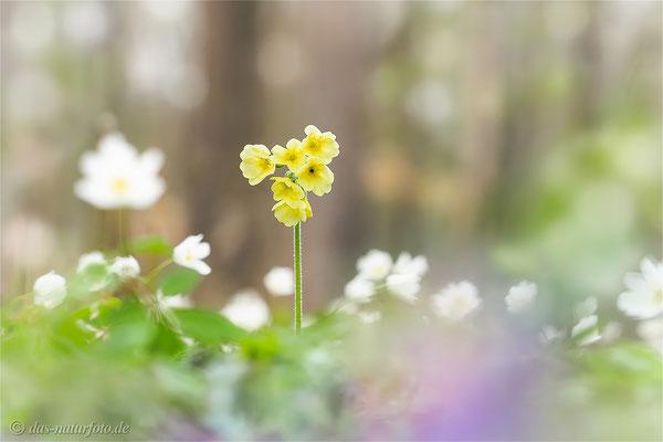 Hohe Schlüsselblume (Primula elatior)   Bild 008 Foto: Regine Schadach - Olympus OM-D E-M5 Mark II - M.ZUIKO DIGITAL ED 40‑150mm 1:2.8 PRO