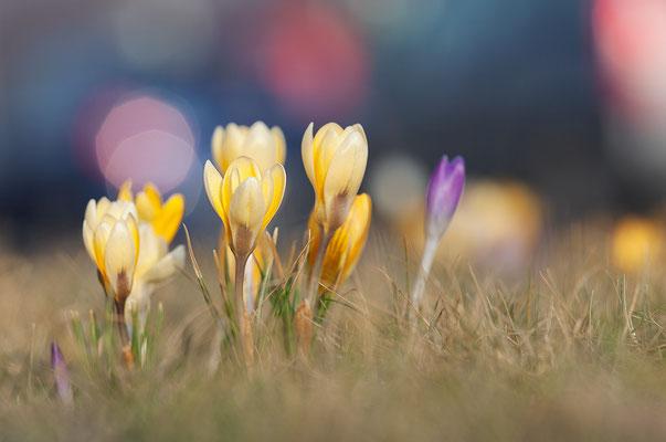 Krokusse (Crocus indet.) - Bild 003 - Foto: Regine Schadach - Canon EOS 5D Mark II Sigma 150mm f/2.8 Macro