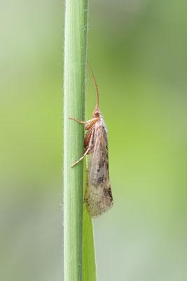 Köcherfliege (unbestimmt) (Trichoptera indet.) Bild 001 Foto: Regine Schadach