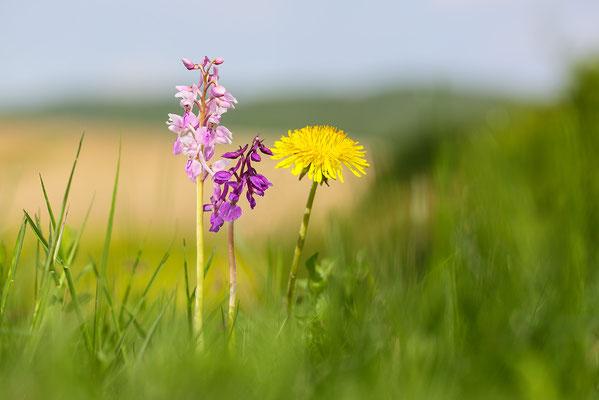 Stattliches Knabenkraut (Orchis mascula) - Bild 005 - Foto: Regine Schulz