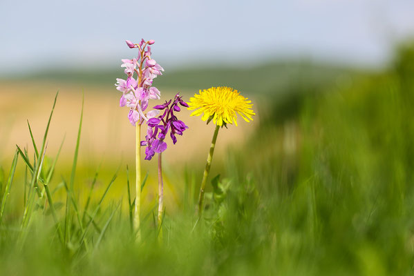 Stattliches Knabenkraut (Orchis mascula) - Bild 005 - Foto: Regine Schadach