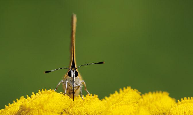 Dukatenfalter (Lycaena virgaureae) - Bild 001 - Foto: Regine Schadach