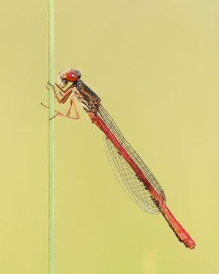 Späte Adonislibelle (Ceriagrion tenellum) auch Zarte Rubinjungfer oder Scharlachlibelle genannt  Männchen - befallen von Wassermilben