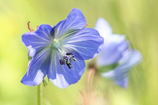 Wiesen-Storchschnabel (Geranium pratense) - Bild 001 - Foto: Regine Schadach