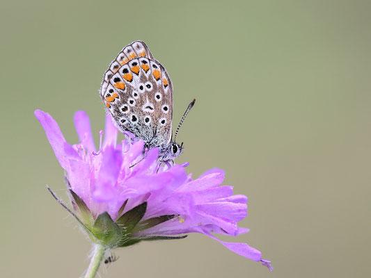 Hauhechel-Bläuling (Polyommatus icarus) - Bild 004 - Foto: Regine Schadach
