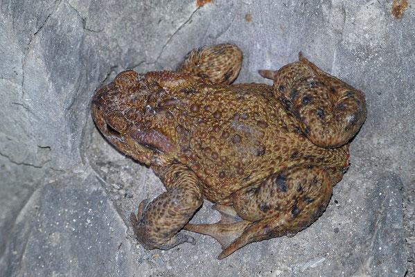 Erdkröte (Bufo bufo) im Winterquartier Bild 004 Foto: Regine Schadach