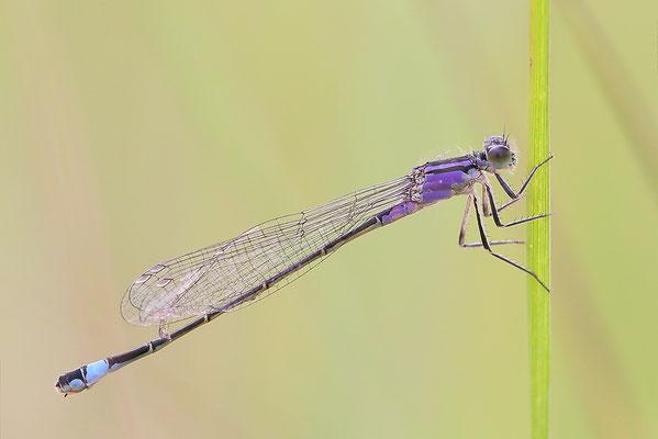 Große Pechlibelle (Ischnura elegans - forma violacea) - Jugendform Weibchen Bild 018 Foto: Regine Schadach