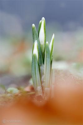 Kleines Schneeglöckchen (Galanthus nivalis) Bild 006 Foto: Regine Schadach - Olympus OM-D E-M1 Mark II - M.ZUIKO DIGITAL ED 60mm 1:2.8 Macro