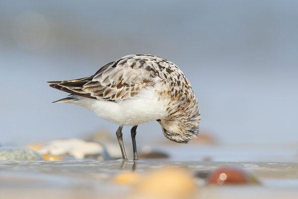 Sanderling (Calidris alba) Bild 019 Foto: Regine Schulz