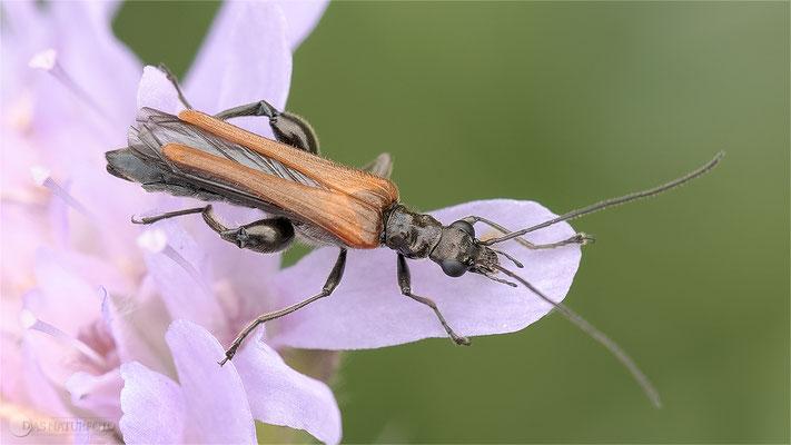 Gemeiner Schenkelkäfer (Oedemera femorata) Männchen Bild 001 - Foto: Regine Schulz  OM-D E-M1 Mark II - ED 60mm 1:2.8 Macro