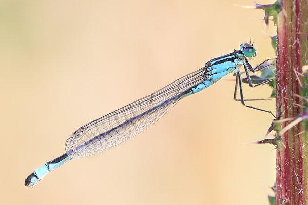 Große Pechlibelle (Ischnura elegans) - Weibchen Bild 017 Foto: Regine Schadach