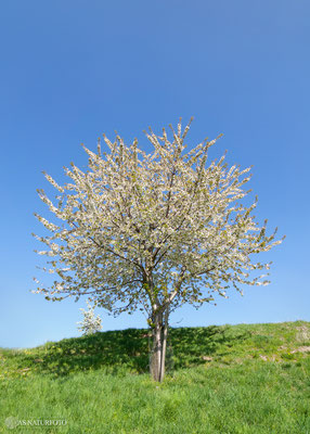 Der Kirschbaum - Foto: Regine Schadach - Olympus OM-D E-M1 Mark II - M.ZUIKO DIGITAL ED 7-14mm 2.8 PRO
