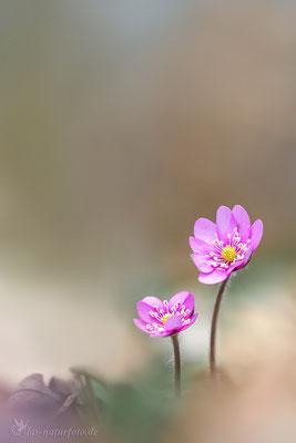 Leberblümchen (Hepatica nobilis) Bild 012 Foto: Regine Schadach - Olympus OM-D E-M5 Mark II - M.ZUIKO DIGITAL ED 40‑150mm 1:2.8 PRO