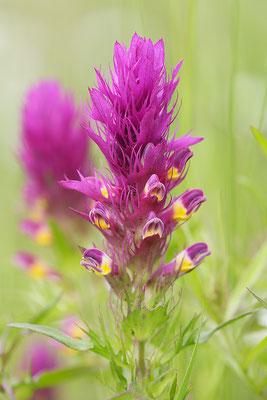 Acker-Wachtelweizen (Melampyrum arvense) Bild 001 Foto: Regine Schadach