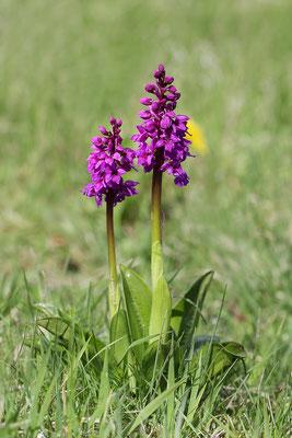 Stattliches Knabenkraut (Orchis mascula) - Bild 003 - Foto: Regine Schadach