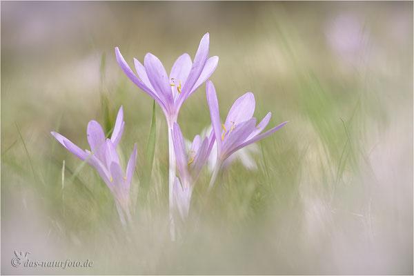 Herbst-Zeitlose (Colchicum autumnale) - Bild 003 - Foto: Regine Schadach -  Canon EOS 5D Mark III Sigma 150mm f/2.8 Macro