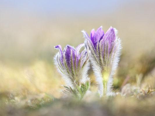 Gewöhnliche Kuhschelle (Pulsatilla vulgaris) Bild 004 Foto: Regine Schadach - Canon EOS 5D Mark III Sigma 150mm f/2.8 Macro