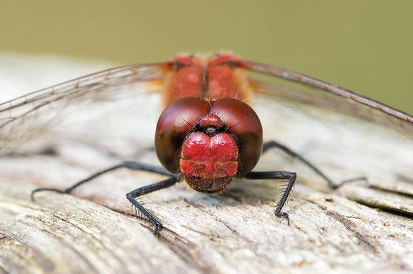 Blutrote Heidelibelle (Sympetrum sanguineum) Bild 001 Foto: Regine Schadach