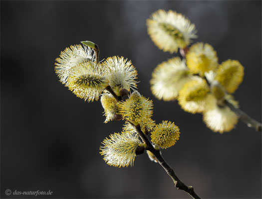 Sal-Weide (Salix caprea) Bild 001 Foto: Regine Schulz - Olympus OM-D E-M5 Mark II - M.ZUIKO DIGITAL ED 40‑150mm 1:2.8 PRO