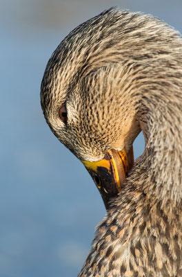 Stockente (Anas platyrhynchos)  - Weibchen Bild 002 Foto: Regine Schadach