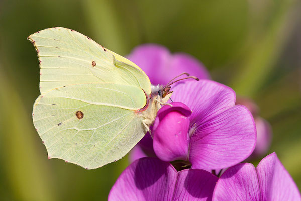 Zitronenfalter (Gonepteryx rhamni) Bild 002 Foto: Regine Schulz