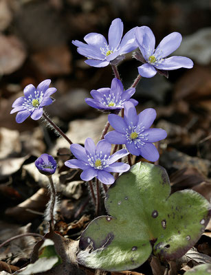 Leberblümchen (Hepatica nobilis) Bild 006 Foto: Regine Schulz