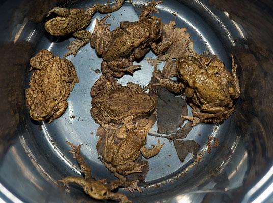 Eingesammelte Erdkröten