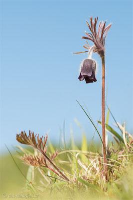 Dunkle Wiesen-Kuhschelle (Pulsatilla pratensis subsp. nigricans) Bild 006 Foto: Regine Schadach - Olympus OM-D E-M5 Mark II - M.ZUIKO DIGITAL ED 60mm 1:2.8 Macro