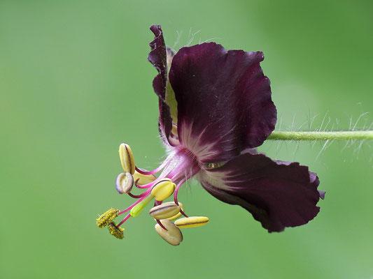 Brauner Storchschnabel (Geranium phaeum) - Bild 002 - Foto: Regine Schulz