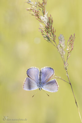 Hauhechel-Bläuling (Polyommatus icarus) Männchen Bild 007 Foto: Regine Schulz Canon EOS 5D Mark III Sigma 150mm f/2.8 Macro