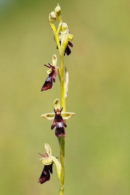 Fliegen-Ragwurz (Ophrys insectifera) Bild 002 Foto: Regine Schadach