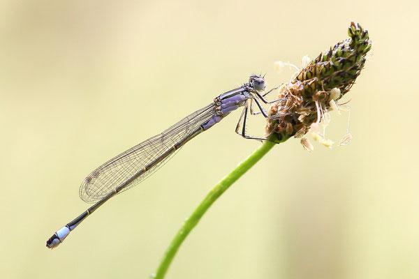 Große Pechlibelle (Ischnura elegans - forma violacea) - Weibchen Bild 016 Foto: Regine Schadach