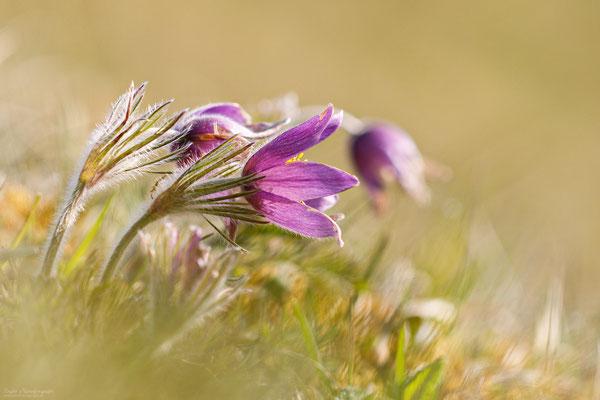 Gewöhnliche Kuhschelle (Pulsatilla vulgaris) Bild 111 Foto: Engler Naturfotografie