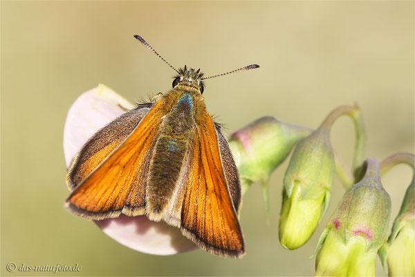 Schwarzkolbige Braun-Dickkopffalter (Thymelicus lineola) Bild 002 Foto: Regine Schadach