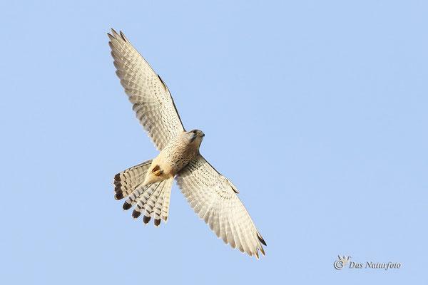 Turmfalke (Falco tinnunculus) Bild 002 Foto: Regine Schadach - Canon EOS 7D Mark II Canon EF 400mm f/5.6 L USM