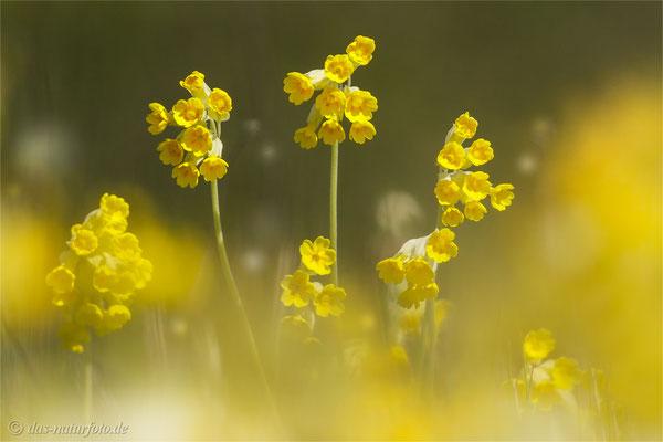 Wiesen-Schlüsselblume (Primula veris) Blume des Jahres 2016 Foto: Regine Schadach - Bild 004