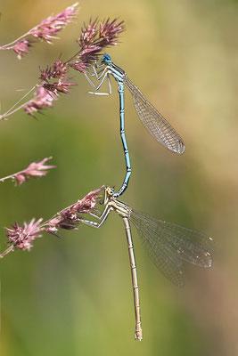 """Gemeine Federlibelle (Platycnemis pennipes) - auch """"Blaue Federlibelle"""" Bild 017 Foto: Regine Schulz"""