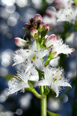 Fieberklee (Menyanthes trifoliata) Bild 002 Foto: Regine Schadach